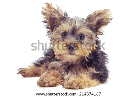 Yorkshire Terrier 4 months old puppy looking at the camera, against a white background  - stock photo