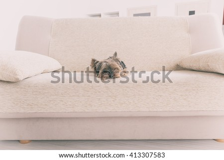 Yorkshire terrier on a sofa at home - stock photo