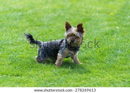 Yorkshire terrier  on the grass.  - stock photo