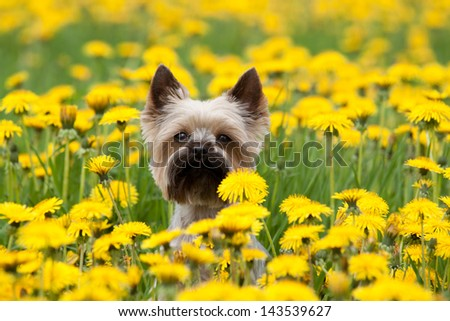 Yorkshire Terrier portrait on blooming dandelion meadow - stock photo