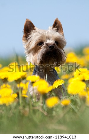 Yorkshire Terrier portrait on blooming meadow - stock photo