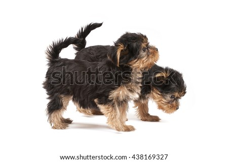 Yorkshire Terrier puppies isolated over white background - stock photo