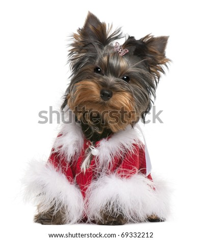 Yorkshire Terrier puppy dressed up, 4 months old, sitting in front of white background - stock photo