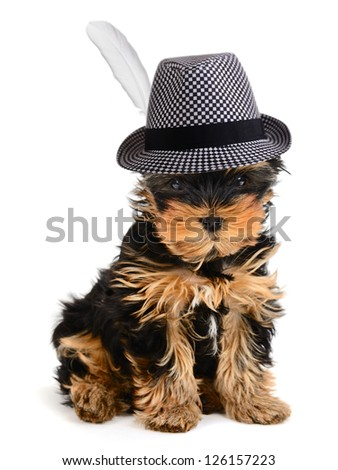 Yorkshire terrier puppy in the hat on the white background - stock photo