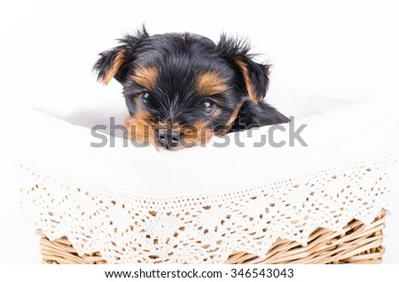 Yorkshire terrier puppy in white box, 2 months old, isolated on white.  - stock photo