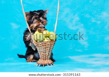 Yorkshire terrier puppy is sitting in the basket with green apples. Itâ??s shot in studio.  - stock photo