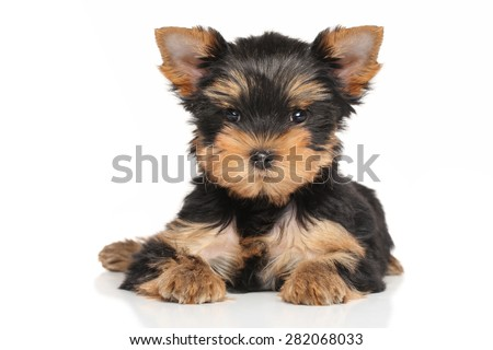 Yorkshire terrier puppy lying down on a white background - stock photo