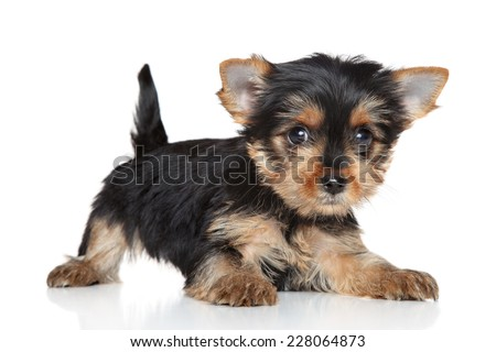Yorkshire Terrier puppy lying on white background - stock photo