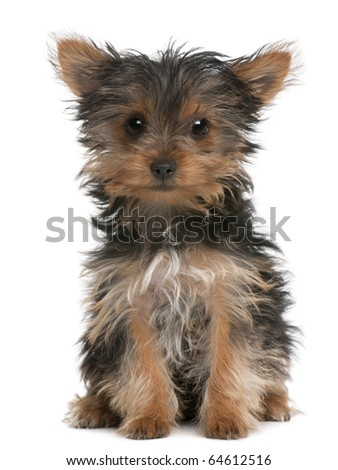 Yorkshire Terrier puppy, 3 months old, sitting in front of white background - stock photo