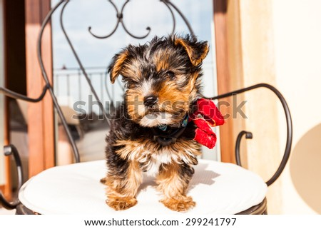 Yorkshire Terrier puppy on a chair - stock photo