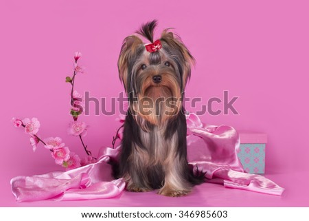 Yorkshire terrier puppy on a colored background isolated - stock photo