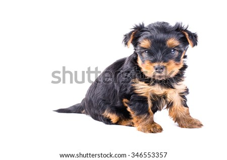 Yorkshire terrier puppy sitting, 2 months old, isolated on white.  - stock photo