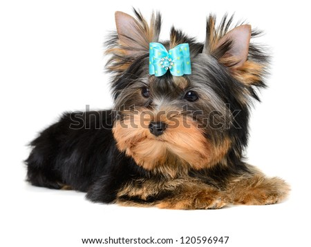 yorkshire terrier puppy the age of 4 month isolated on white - stock photo