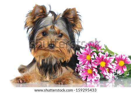 yorkshire terrier puppy with flowers - stock photo