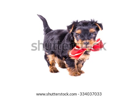 Yorkshire Terrier puppy with red bow-knot isolated on white background, 2 months old. Dog as present, gift - stock photo