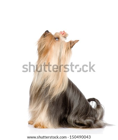 Yorkshire Terrier sitting and looking up. isolated on white background - stock photo