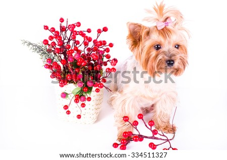 Yorkshire Terrier sitting near decor berries, 2 months old, isolated on white.  - stock photo