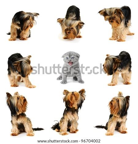 yorkshire terrier team vs one cat - stock photo