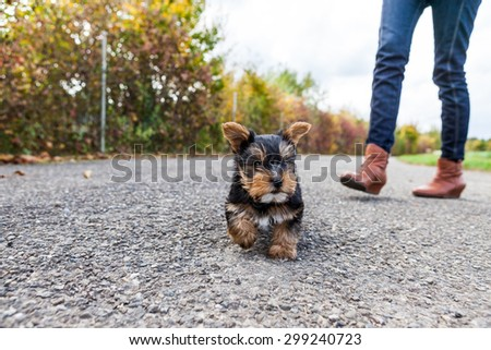 Yorkshire terrier walking - stock photo