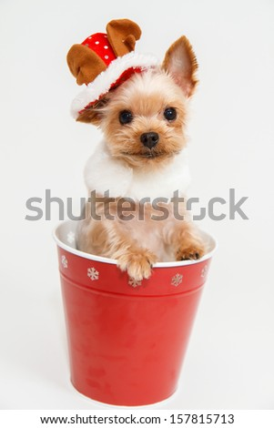 Yorkshire Terrier wearing a reindeer hat - stock photo