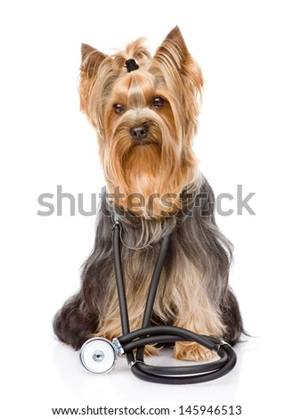 Yorkshire Terrier with a stethoscope on his neck. isolated on white background  - stock photo