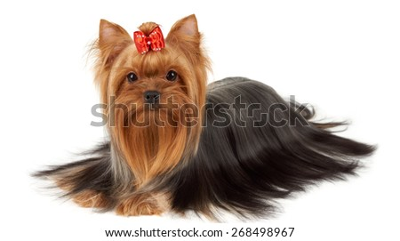 Yorkshire Terrier with professionally groomed hair isolated on white - stock photo
