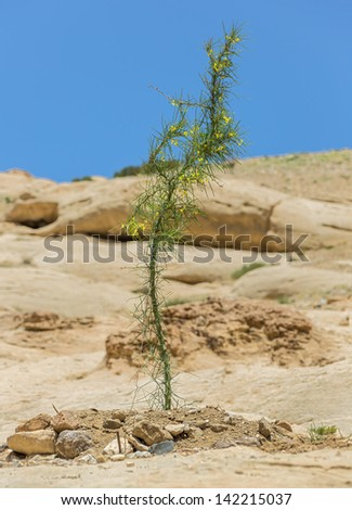 Young acacia tree near the beginning of the Kings Way (Sig) to the ancient city of Petra - Jordan - stock photo