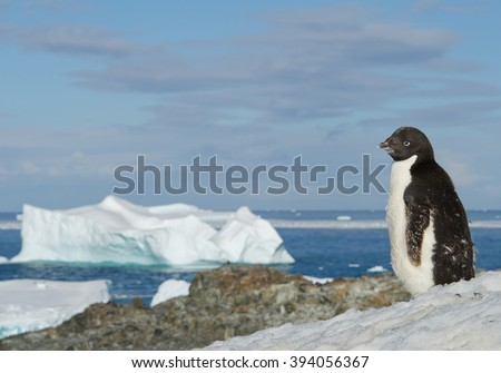 Young Adelie penguin standing on snowy hill, with blue sea and iceberg in background, Antarctic Peninsula - stock photo