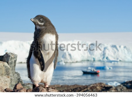 Young Adelie penguin standing on the rock, with blue sky, sea  and iceberg in background, Antarctic Peninsula - stock photo