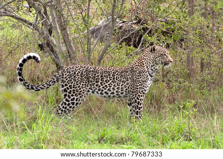 young adult male leopard in grass in Sabi Sand nature reserve, South Africa - stock photo