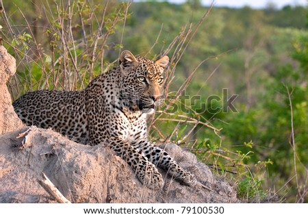 young adult male leopard on a termite mound in Sabi Sand nature reserve, South Africa - stock photo