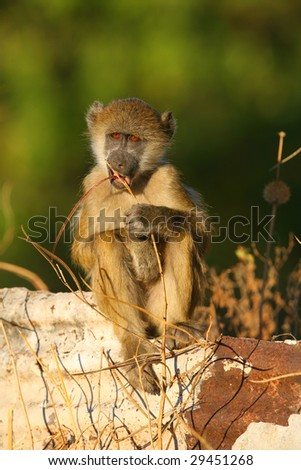 Young african baboon chewing on a twig - stock photo