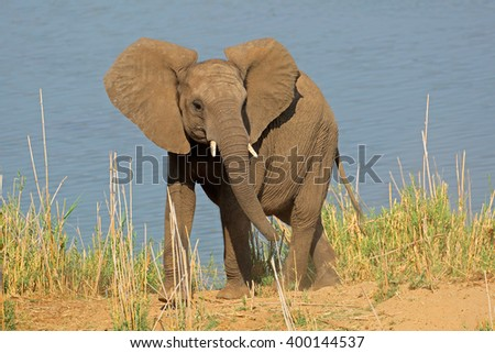 Young African elephant (Loxodonta africana) in natural habitat, Kruger National Park, South Africa