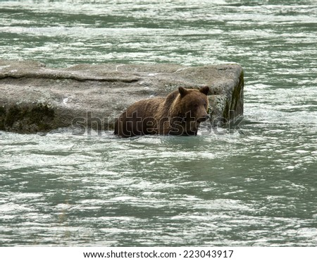 Young Alaskan Brown Bear swimming and fishing in the Chilkoot River, Haines, Alaska - stock photo