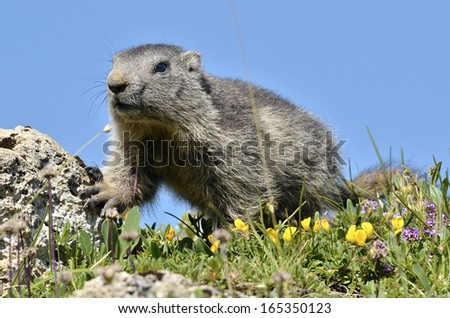 Young Alpine marmot (Marmota marmota) on the blue sky background, in the French Alps, Savoie department at La Plagne - stock photo