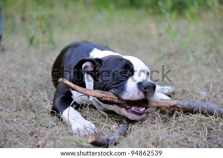 Young american staffordshire terrier gnaws stick - stock photo
