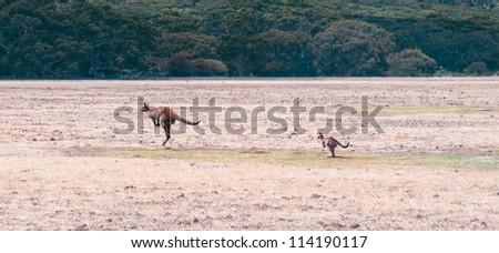 young and adult kangaroo running - stock photo
