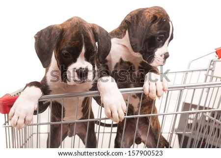 Young and beautiful boxer puppies in a supermarket car - stock photo