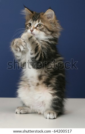 Young and playful kittens on tabletop with a blue wall for background - stock photo