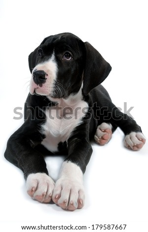 Young and sweet dog is resting on a white background - stock photo