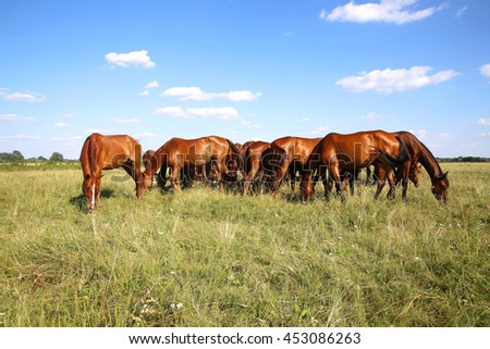 Young anglo arabian mares and foals grazing on the meadow summertime  - stock photo