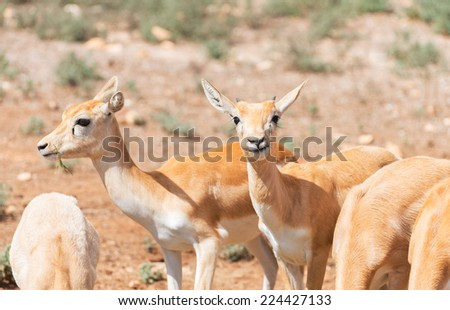 Young antilopes eating in national park. - stock photo