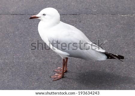 Young Australian Seagull (Chroicocephalus novaehollandiae) with adult plumage and immature dark beak and feet standing on dark granite pavement - stock photo