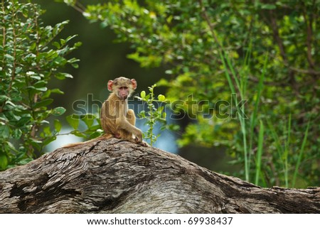 Young baboon sitting on a fallen tree trunk - stock photo