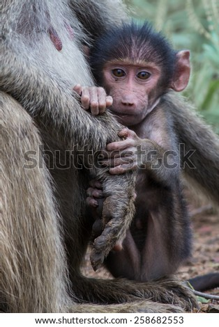 Young Baboon Stare - stock photo