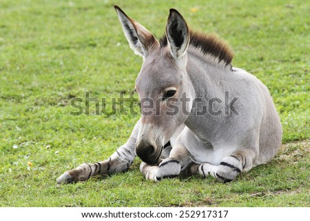 Young baby donkey in a Field in sunny day, animals series - stock photo