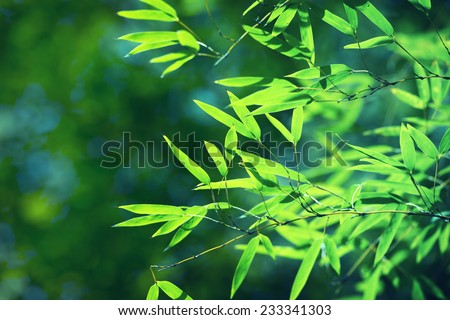 Young bamboo leaves translucent with sunlight. shallow depth of field. - stock photo