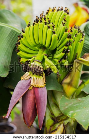 Young banana blossom close up - stock photo