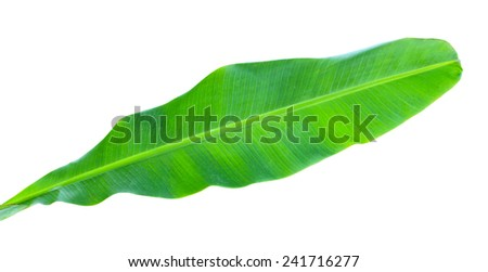Young banana leaf isolated on white background - stock photo