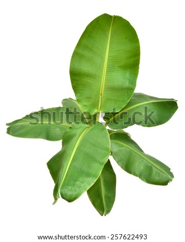 Young banana tree isolated on white background - stock photo